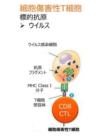 MHCクラスⅠ分子と細胞障害性Tリンパ球の関係を示した図