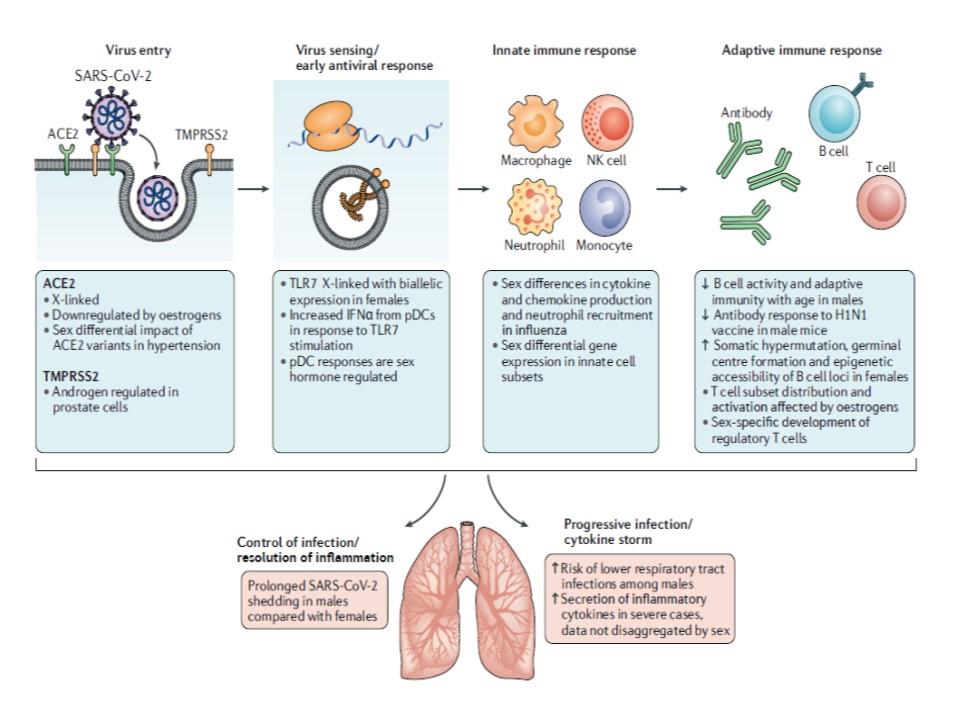 新型コロナウイルスに対する免疫応答の性差についてまとめた図