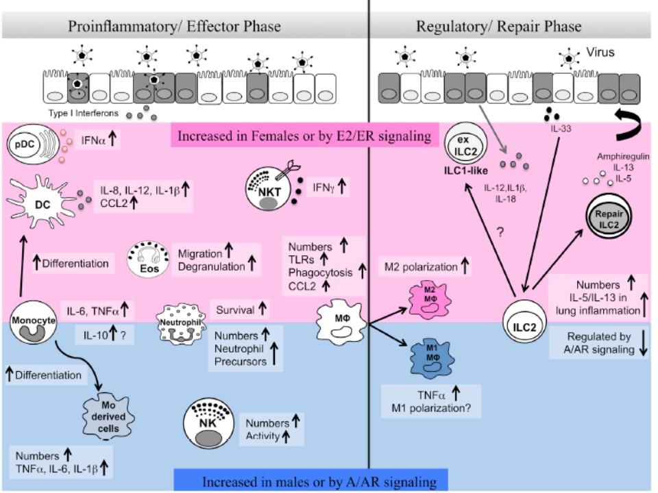 性ホルモンの免疫細胞の機能への影響をまとめた図