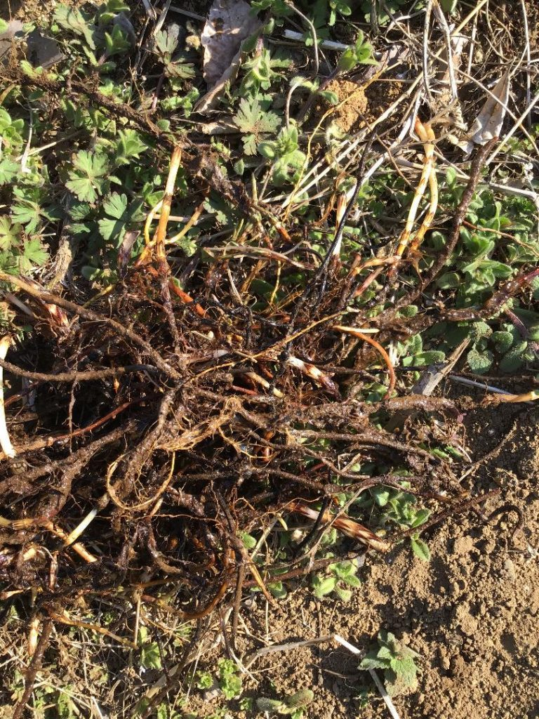 木の実 地下茎