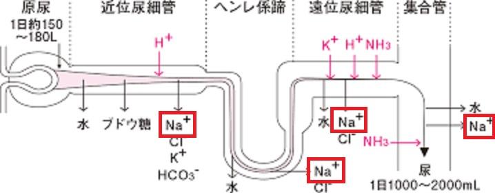 腎臓での再吸収について説明する図