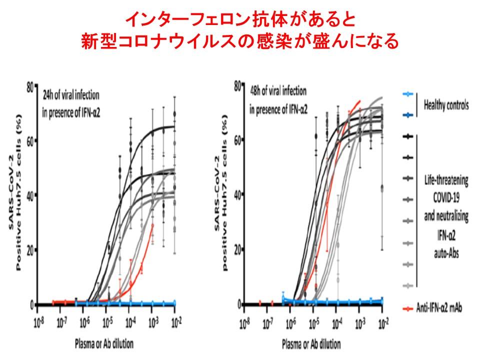 インターフェロンαに対する自己抗体が存在すると細胞への新型コロナウイルスの感染が盛んになることを示すグラフ