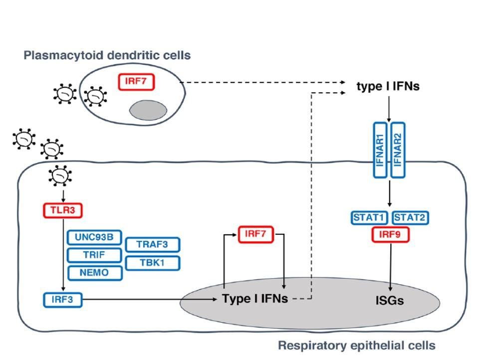 インターフェロン産生を誘導するいくつかの反応を示す図