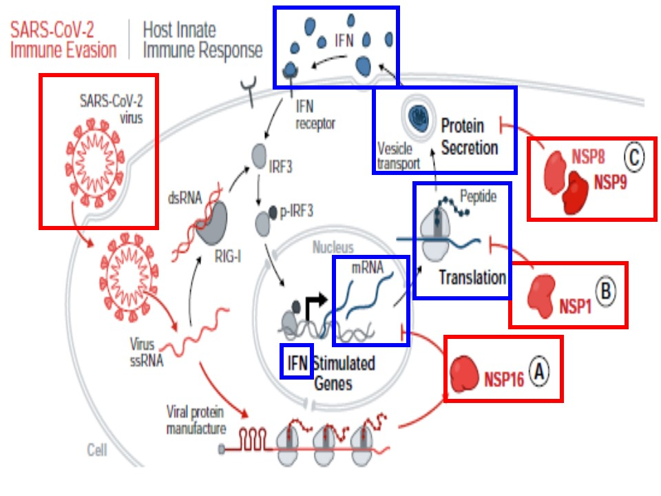 新型コロナウイルスは3つのプロセスを抑制することでインターフェロンの産生を抑制していることを示す図