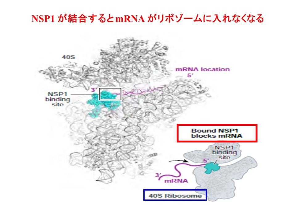 NSP1のリボゾームへの結合を示す図
