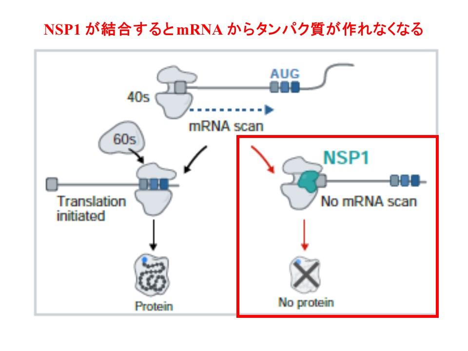 リボゾーム内でmRNAからタンパク質が翻訳できなくなることを示す図