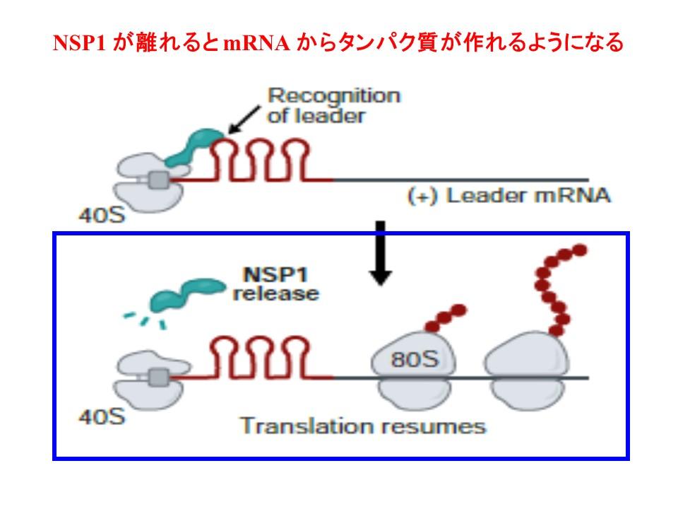 NSP1が乖離するとタンパク質は作られるようになることを示す図