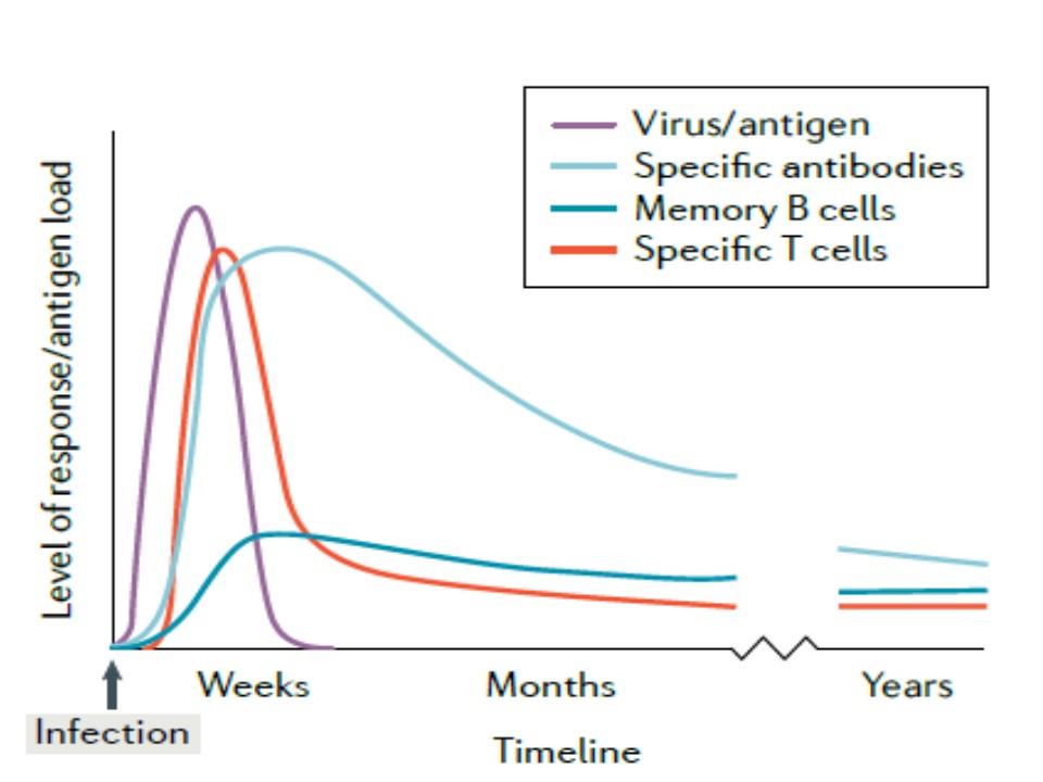 新型コロナウイルス感染における抗体 Tリンパ球反応の経時的変化を示すグラフ