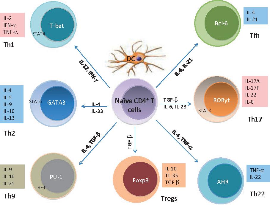 CD4・Tリンパ球のTリンパ球の分化について説明する図
