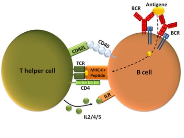 CD4・Tリンパ球の抗体産生への関与を説明する図