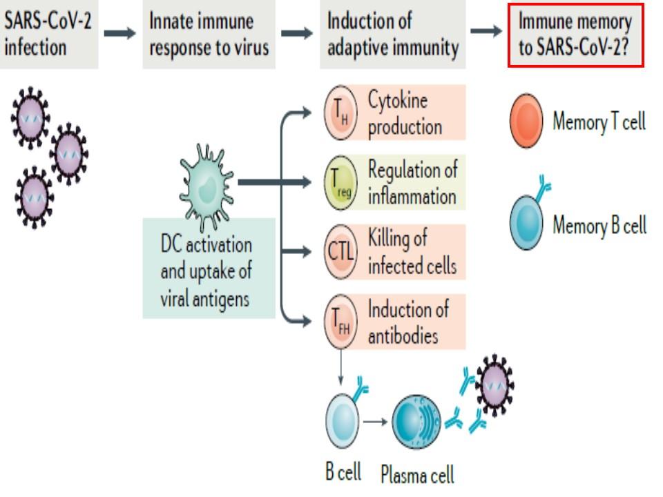 新型コロナウイルス感染におけるメモリーTリンパ球の動態について説明する図
