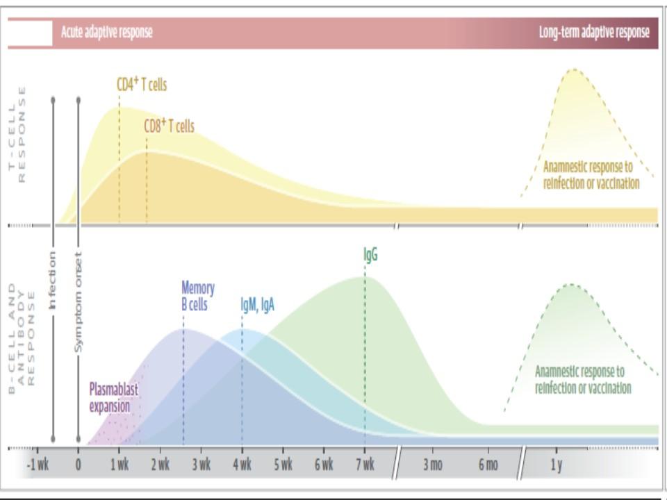 感染早期における抗体とTリンパ球の反応を示した図