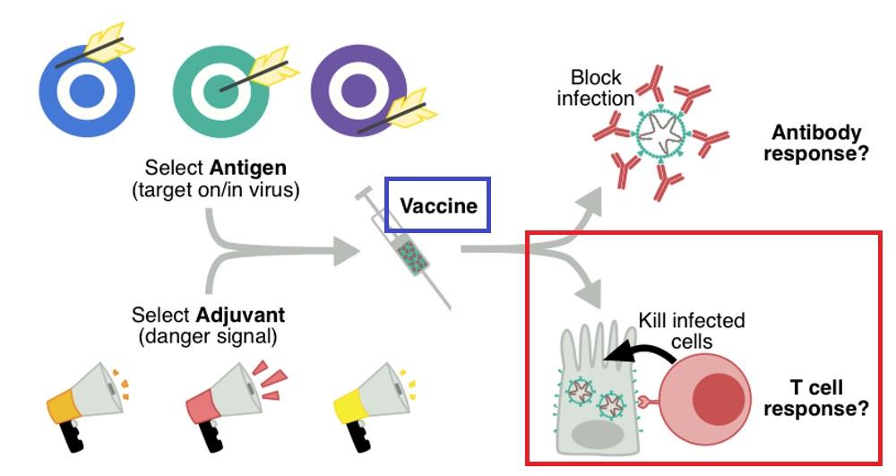 Tリンパ球反応を誘導するエピトープを用いたワクチンについて説明する図