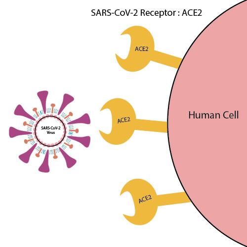 ACE2受容体について説明する図