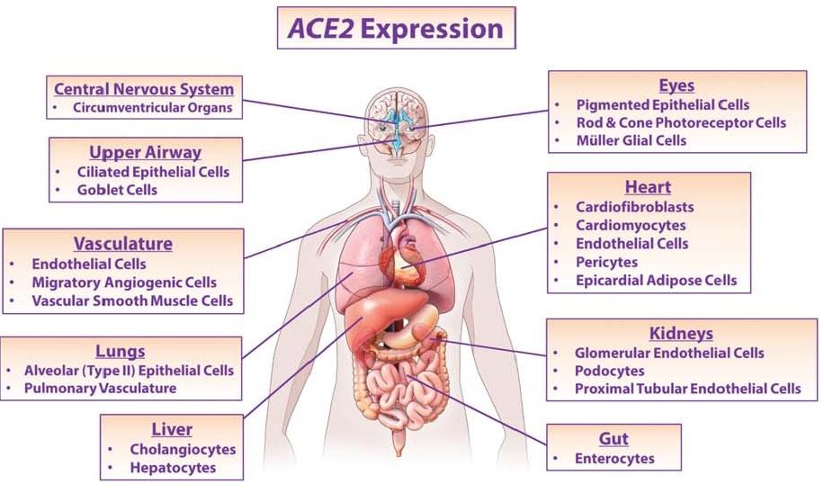 全身臓器でのACE2受容体発現の程度をまとめた図