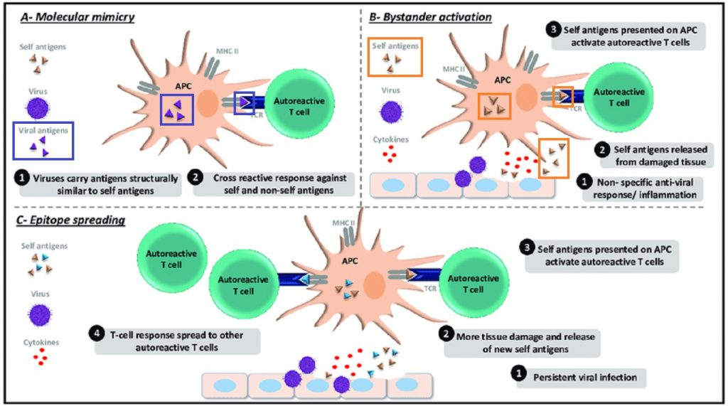 自己免疫反応の関与を示唆する図