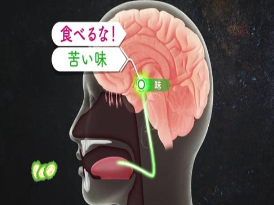 脳で苦味が毒と認識されている様子