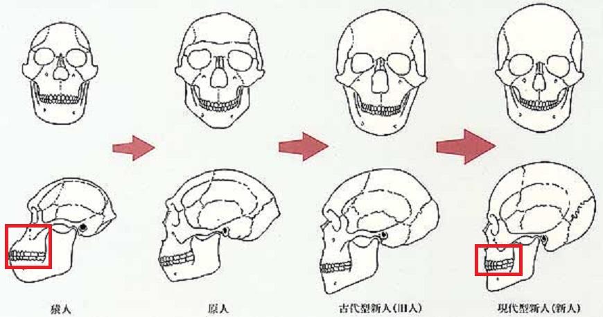 顔の骨格の経時的変化を示す図