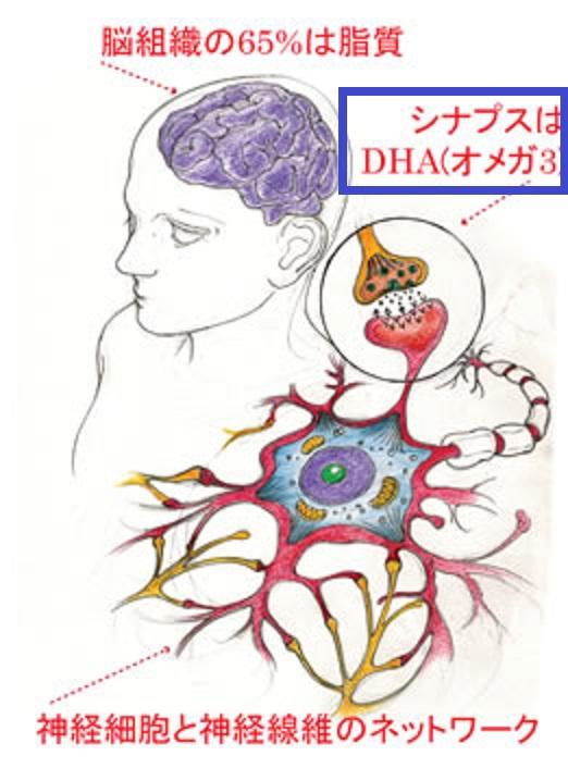 オメガ3脂肪酸は脳の神経細部を柔軟にすることを示す図