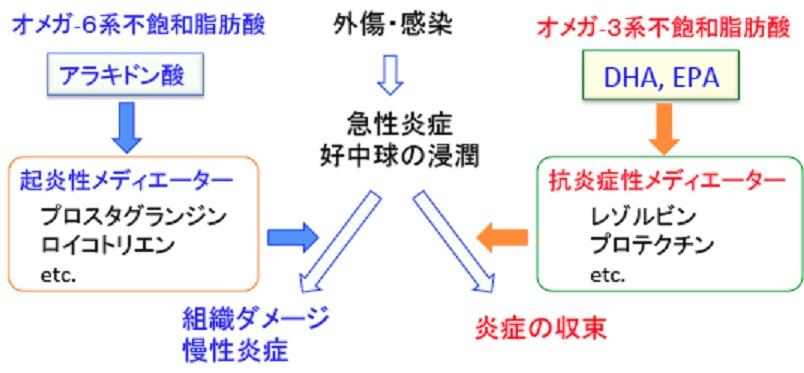 オメガ6脂肪酸による炎症が動脈硬化が進行させるリスクについて説明した図