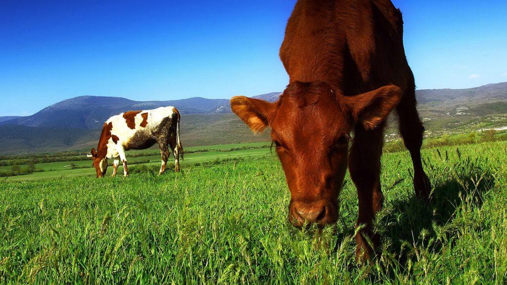 牧草で飼育されている牛