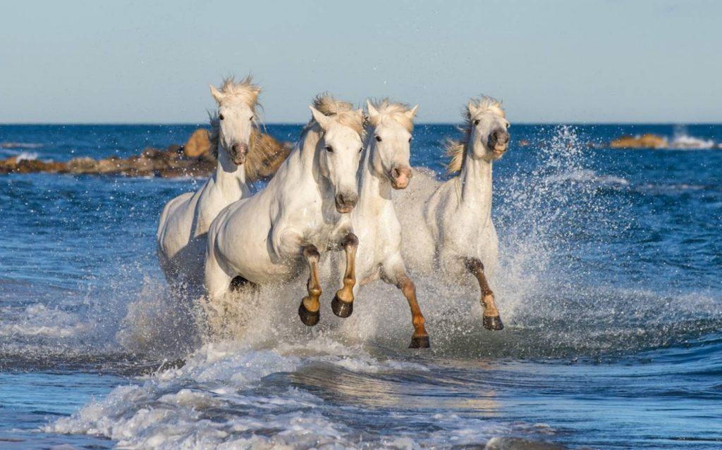 カマルグの白馬