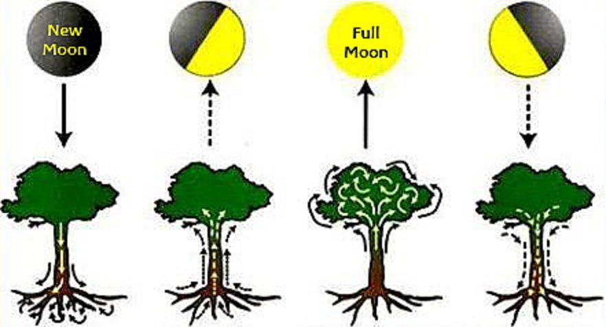 満月 新月の時の植物の状態を説明した図