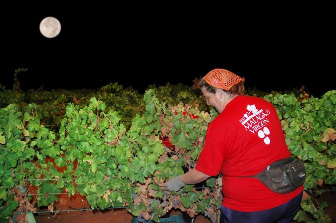 満月の夜にブドウを収穫する人