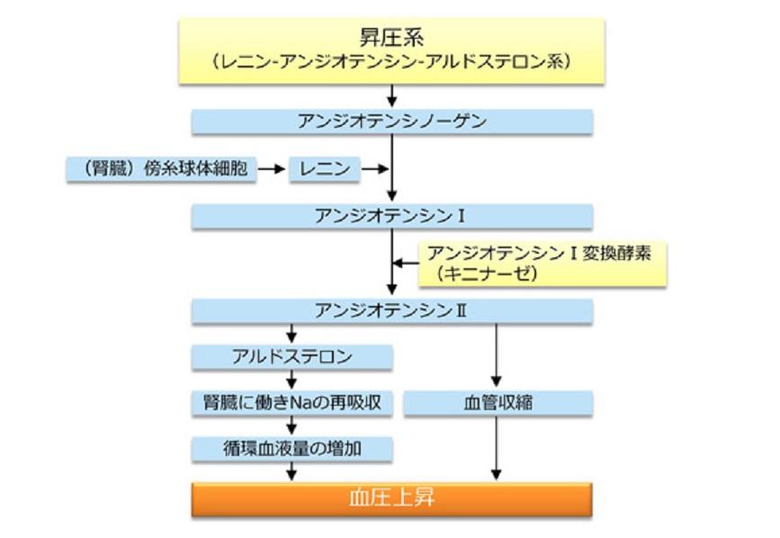 レニン・アンギオテンシン系について説明した図