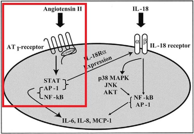 アンギオテンシンⅡは炎症を起こさせることを示した図