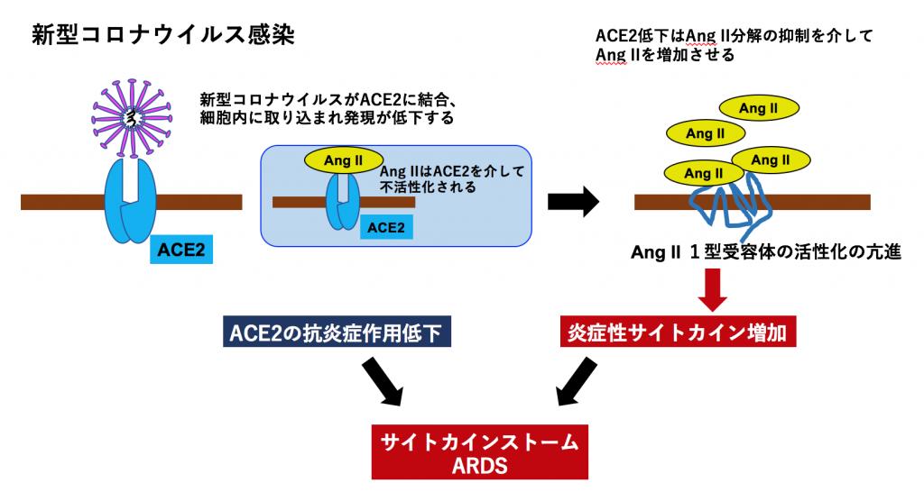 新型コロナ・可溶性ACE2が新型コロナウイルス感染の新たな治療薬になる?