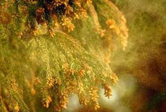 花粉が飛散している様子
