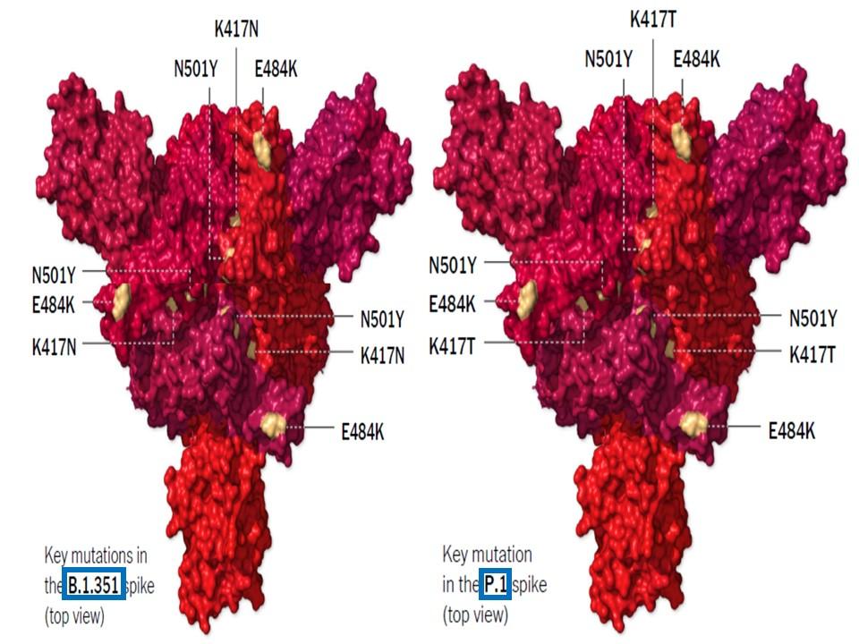 南アフリカ株 ブラジル株のスパイクタンパクの立体構造を比較した図