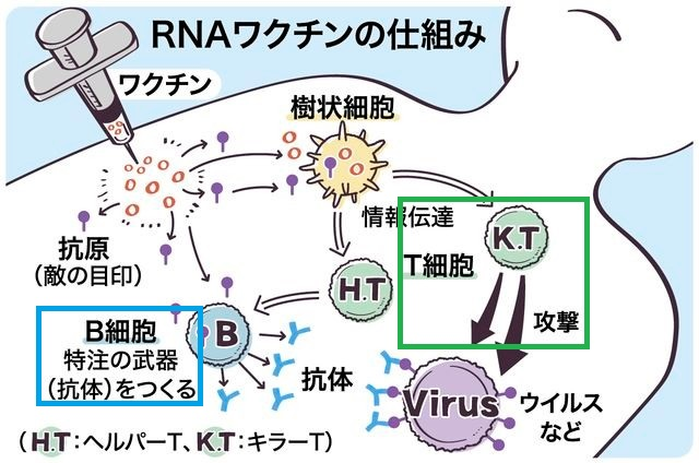 ワクチンにより抗体 T細胞反応の両方が誘導されることを説明する図