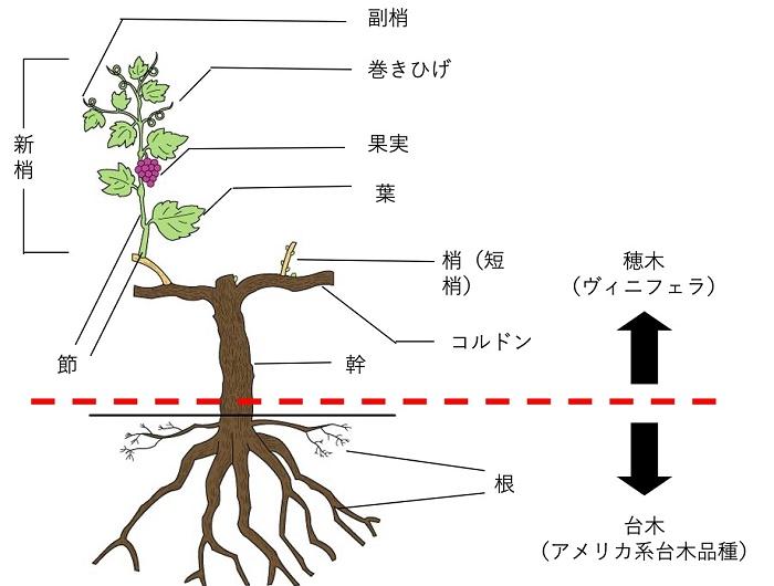 接ぎ木について説明する図