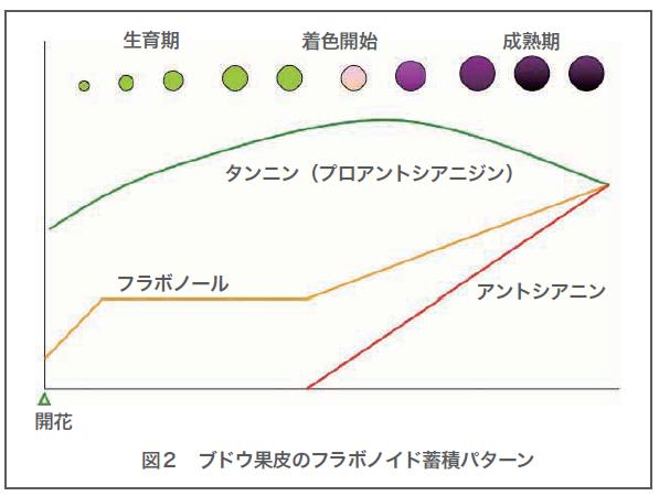 アントシアニンとブドウの皮の色について説明する図