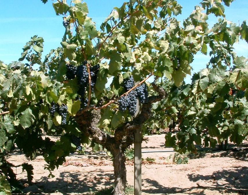 ワイン造りに適したブドウ