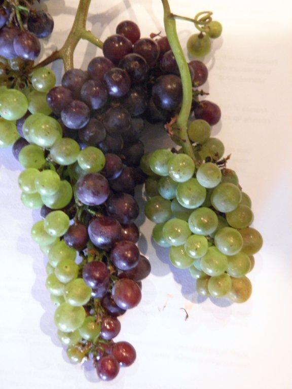 ひとつの房にピノ・ブランとピノ・ノワールが実ったブドウ