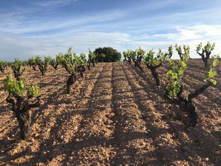 粘土質のブドウ畑