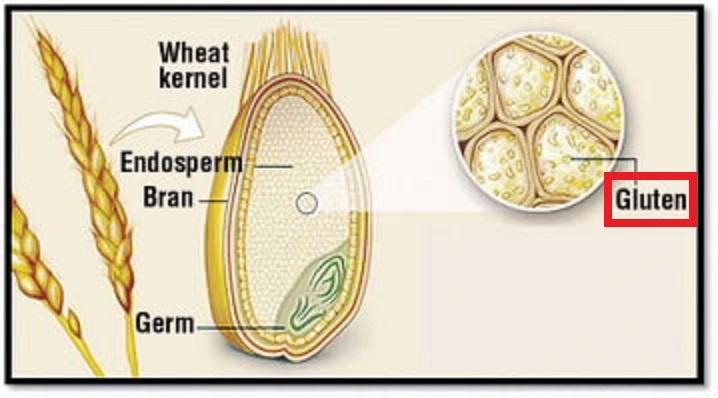 穀物の内部のグルテンの存在場所を示した図