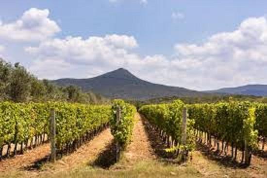 ボルゲリでカベルネ・ソーヴィニヨンを栽培しているブドウ畑