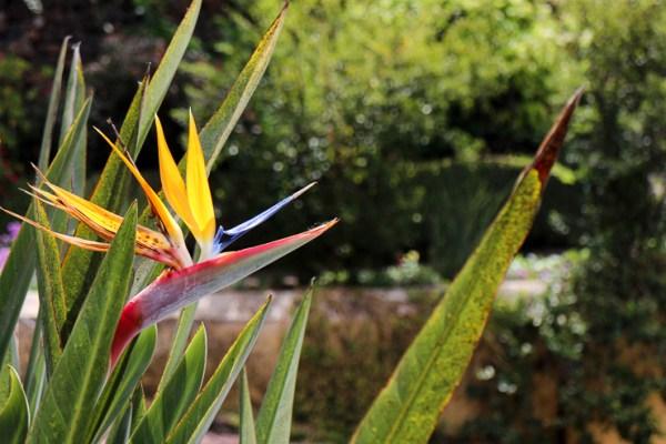 マデイラ島で咲く極楽鳥花