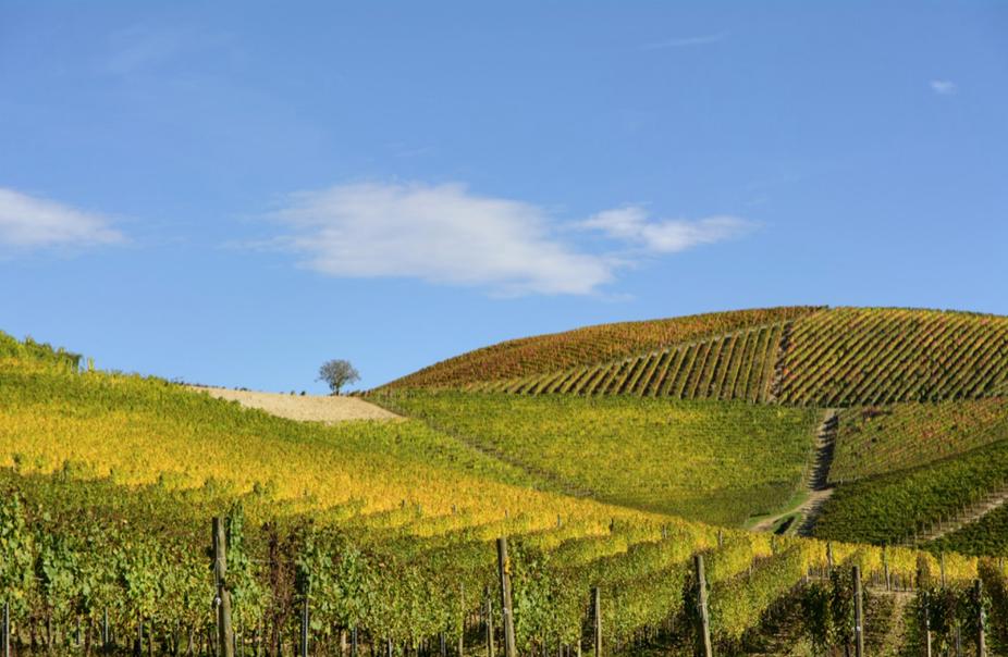 ネッピオーロが栽培されている斜面の畑