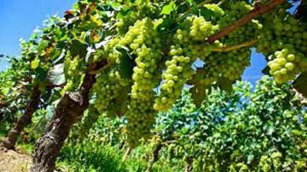 コルテーゼのブドウの実