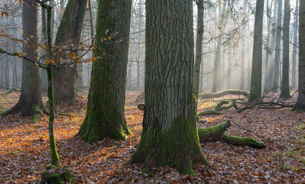 フレンチオークの木