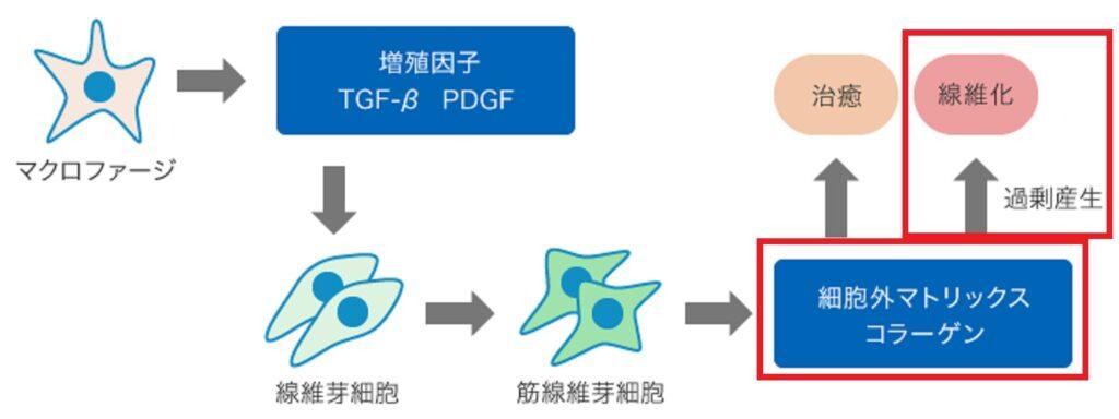 過剰なECMの蓄積により病的な線維化が進行する過程を示した図