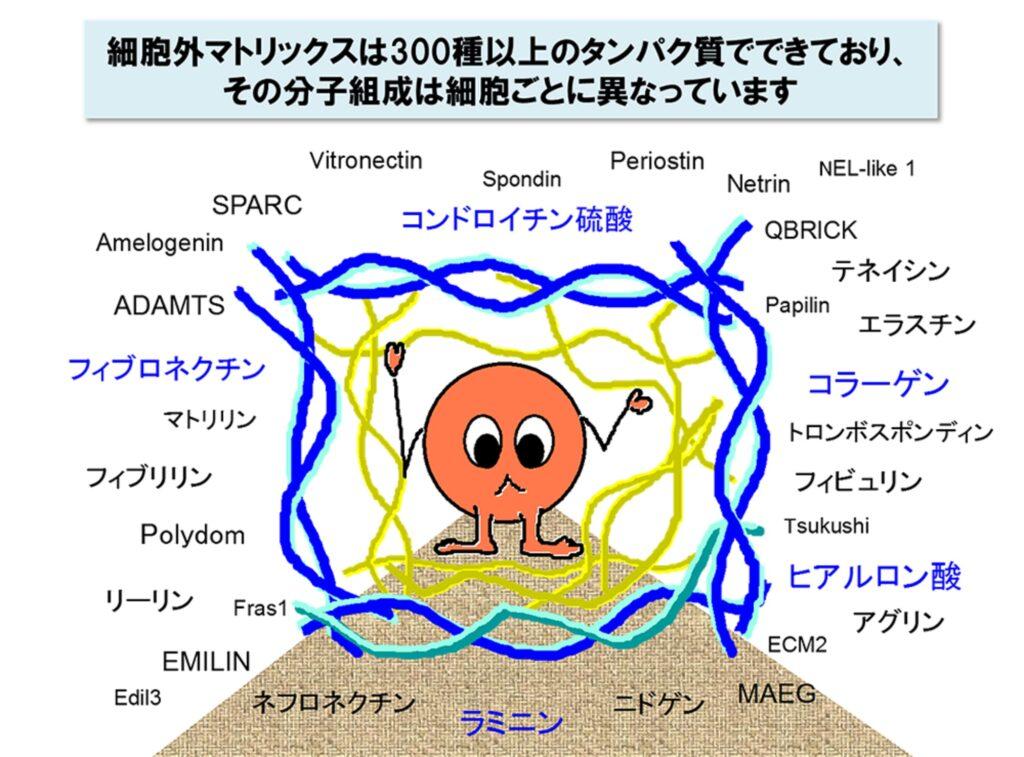 細胞外基質・ECMの種類をまとめた表・その2