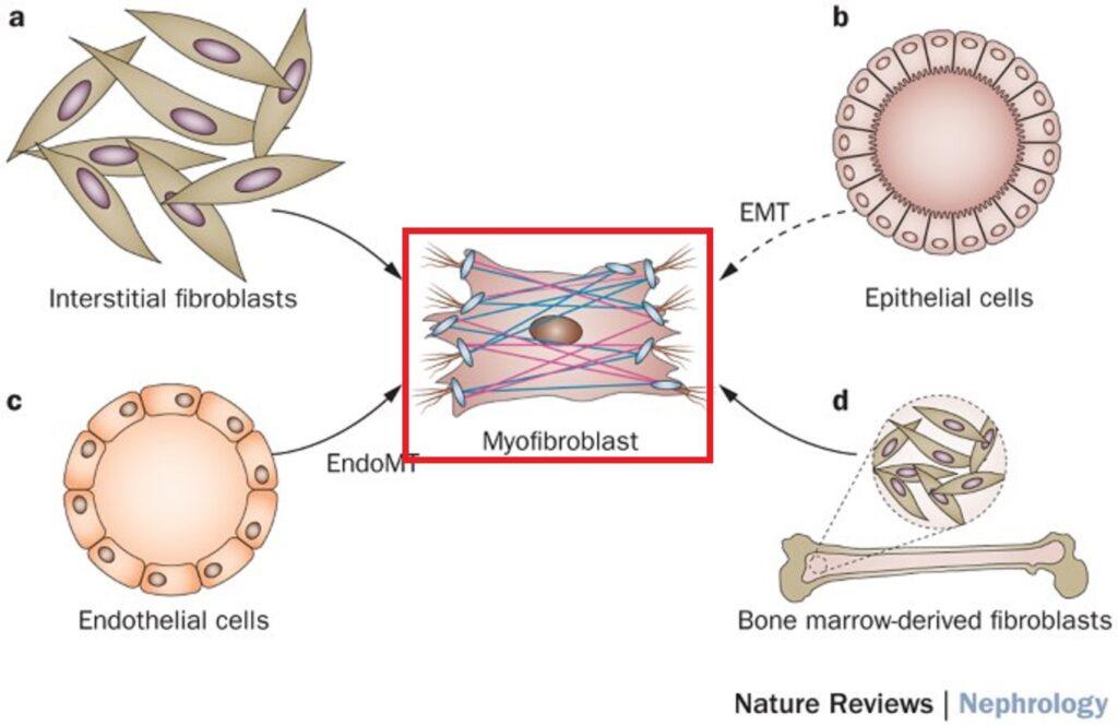 さまざまな種類の間葉系由来細胞から筋線維芽細胞に転換への過程を示した図