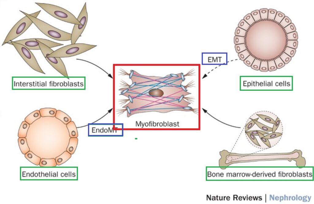 TGF-βによる各種線維芽細胞から筋線維芽細胞への転換反応をまとめた図
