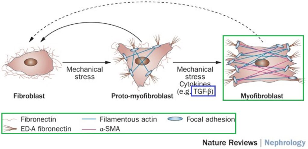 TGF-βによる筋線維芽細胞の活性化機序をまとめた図